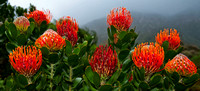 Pincushion Protea, Western Cape 5592