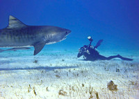 Tiger Shark-with photographer 328