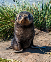 Antarctic Fur Seal Pup, Salisbury Plain 9356