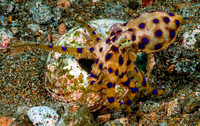 Blue-Ringed Octopus 191603