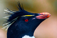 Rockhopper Penguin, South Harbour, New Island 8800