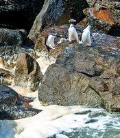 Rockhopper Penguins exiting water, South Harbour, New Island 8877
