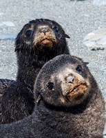 Antarctic Fur Seal Pups, Salisbury Plain 9349