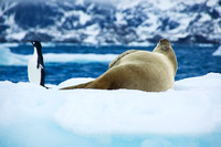 Crabeater Seal and Adelie Penguin 2813