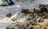 Wildebeest jumping into Mara River 2688
