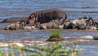 Wildebeest crossing by Hippos 2820