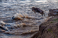 Wildebeest jumping into Mara River 3062