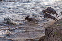 Wildebeest jumping into Mara River 3064
