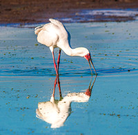 African Spoonbill 1710