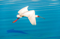 African Spoonbill 1715