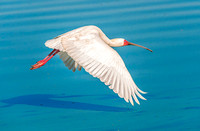 African Spoonbill 1716