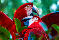 Scarlet Macaws 4598