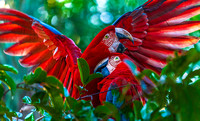 Scarlet Macaws 4599
