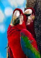 Scarlet Macaws 4615