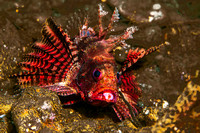 Lionfish, with pink parasitic Isopod on lower lip 2375