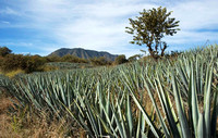 Agave growing near Tequila 2675