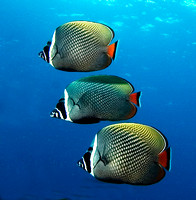 Red Tail Butterflyfish, Similan Islands 7213