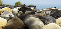 Southern Elephant Seals 2661