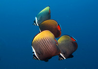 Red Tail Butterflyfish, Similan Islands 7186