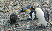 King Penguin disciplining obstreperous Fur Seal pup 1785