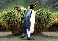 King Penguin oblivious to Southern Fur Seal on Tussock Grass 2677