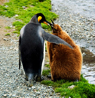 King Penguin mother with chick 1709