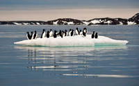 Thick-billed Murres on ice 9487E