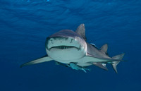 Lemon Shark 0522