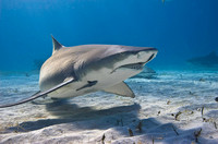 Lemon Shark 0221
