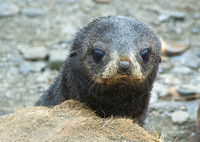 Southern Fur Seal pup 1840