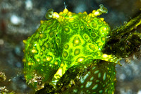 Green Sea Hare 1204