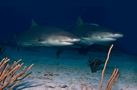 Lemon Shark 0155