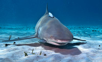 Lemon Shark 0268