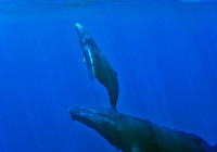 Humpback Whale, mother & calf 3747