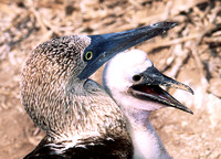 Blue Footed Boobie 4