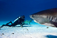 Tiger Shark - Bahamas 0584