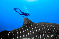 Leviathan Whale Sharks & underwater Limestone Caverns of Quintana Roo - July 2014
