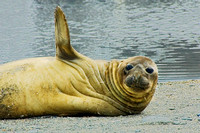Southern Elephant Seal 2478