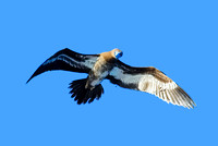 Brown Booby 5183