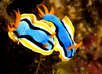 Nudibranch 1819