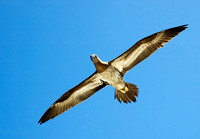 Brown Booby 3227