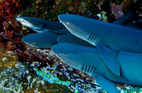 White Tip Reef Sharks at Roca Partida 3377