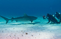 Tiger Shark-with photographer & wife 0533