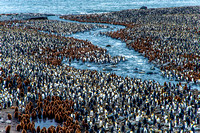 King Penguin Colony, St. Andrews Bay 9856