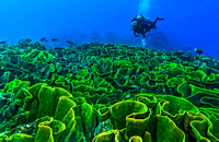 Green Cabbage Coral 4593